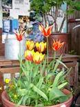 tulipsaviihsk